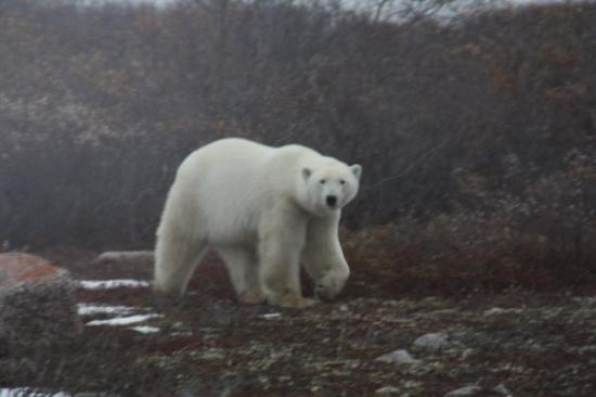 Churchill, Canada: male about 800 lbs - looking around - he is ready to go as soon as the ice forms on the Hudsan B