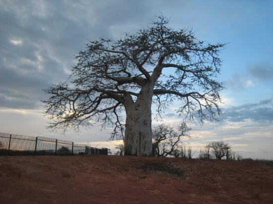 Angola, Luanda  Nov. 2008 Tree of Baobab