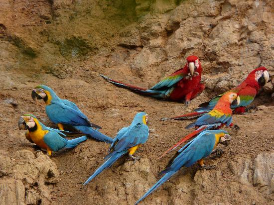 Tambopata Research Center: Macaw Clay Lick