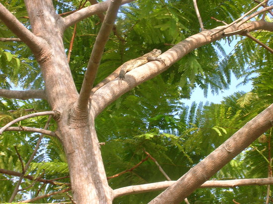 Three Monkeys: Iguana in our front tree