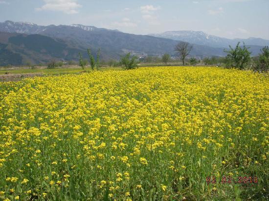 Nanohana Park: 菜の花