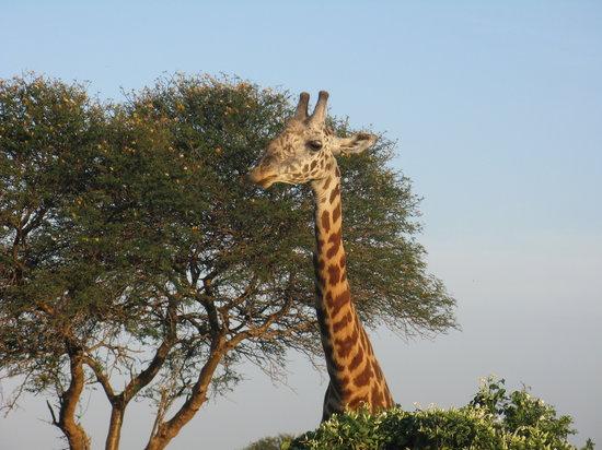 Kenia: giraff