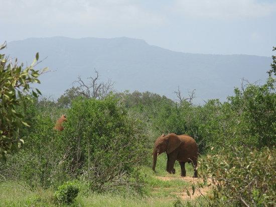 Kenya: elephant