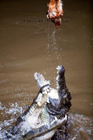 La Vanille Nature Park : impressionant le repas des crocos