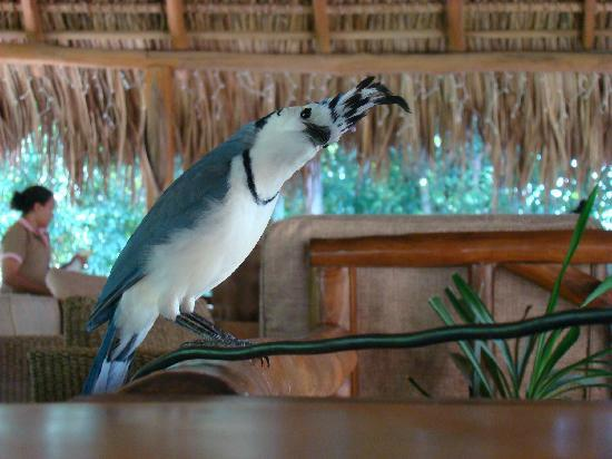 Bluejay, a partner in our trip in Tamarindo