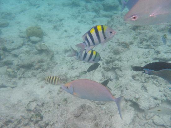 Alidhoo Island: Fish feeding!
