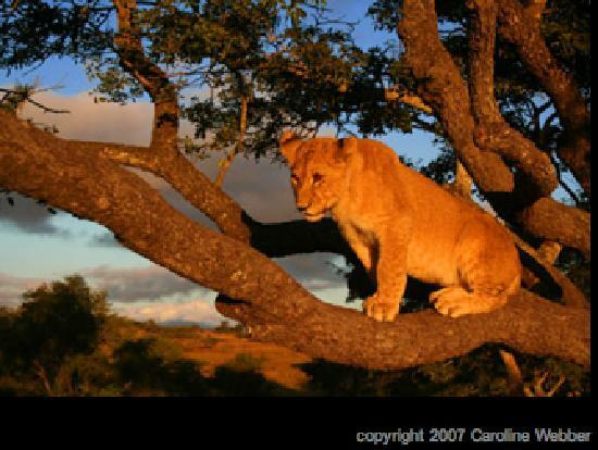 Gweru, Zimbabue: 5 month old lion in a tree