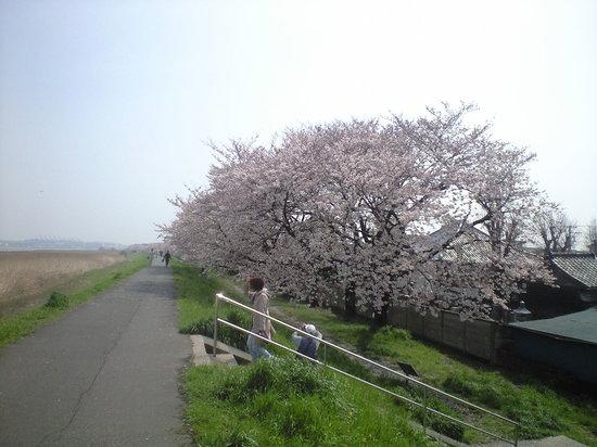 Daishihashi Ugan Teibo Sakuranamiki