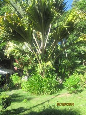 Cote Sud: Garten von Cote de Sud (der berühmte Coco de Mer Baum)
