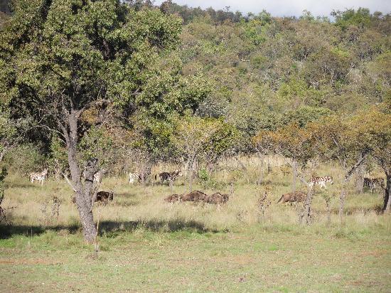 Ditoro Game Lodge: Zebras
