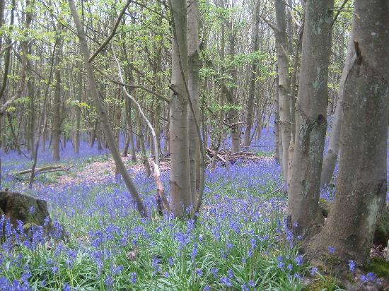 Riverhill Himalayan Gardens : Amazing Bluebell woods