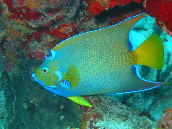 Mermaid Dive Center : Queen Angel