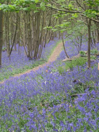 Sevenoaks, UK: Amazing Bluebell woods