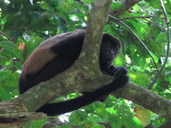Manoas: Howler Monkey