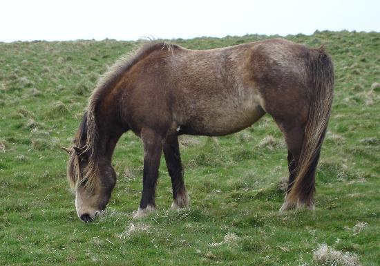 Lundy Island: Lundy Pony