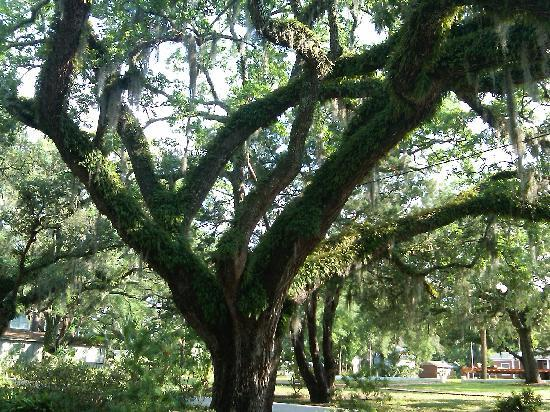Herlong Mansion Bed and Breakfast Inn: Town of Micanopy is Big Tree heaven