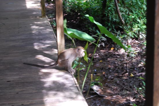 Rimba Orangutan Eco Lodge: wildlife scampers across walkways:Rimba Lodge
