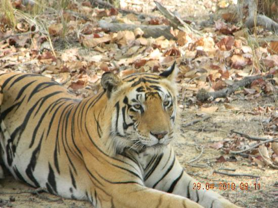 Kanha National Park, India: The Tiger!