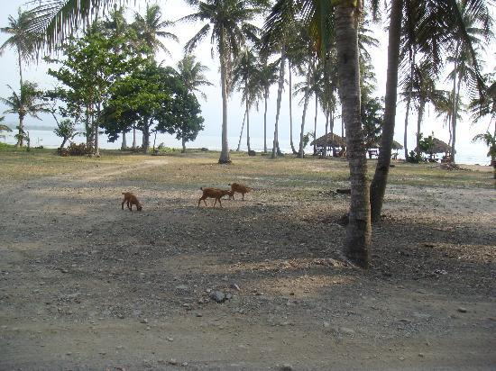 Punta Garvida Beach Resort: Carpark with resident goats & beach huts