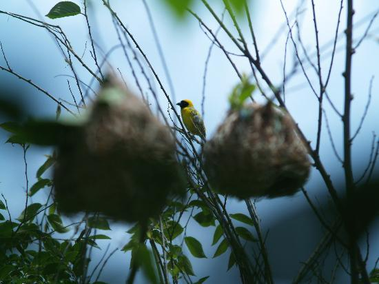 African Silhouette Guesthouse: The garden is ample with nest building weaver birds. Southern Black masked Weaver here. An ornit
