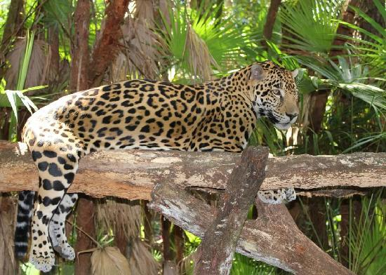 The Belize Zoo: Jaguar