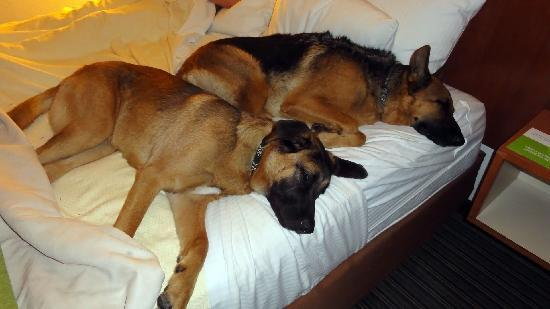Dunwoody, Джорджия: The dogs rest up after our trip. La Quinta is legitimately pet friendly!