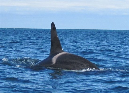 Abel Tasman National Park, Nueva Zelanda: Orca in the tonga island marine reserve