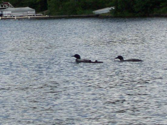 Aberdeen Cabins: loons!  Love them
