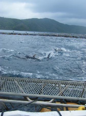 Kakeroma Island: クロマグロ栽培漁業の生見学!