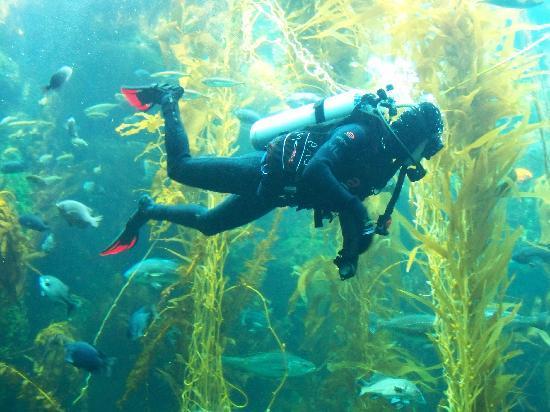 Feeding At Kelp Tank Picture Of Birch Aquarium At