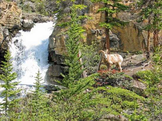 Banff National Park, Canada: Sheep & Waterfall