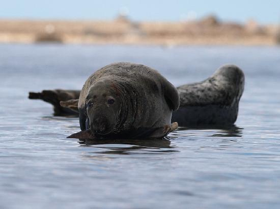 เอสโตเนีย: Grey seals in Baltic Sea in Estonia