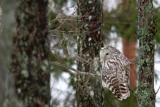 Estonia: Ural Owl in Lihula