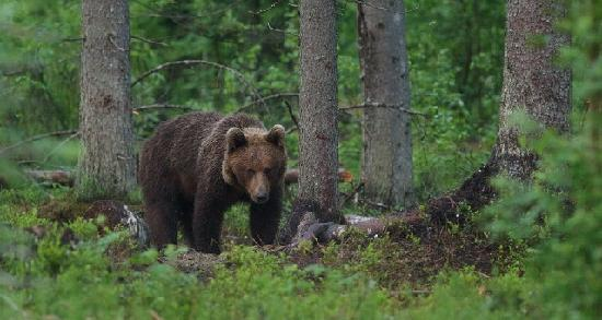 Estland: Brown bear in Alutaguse