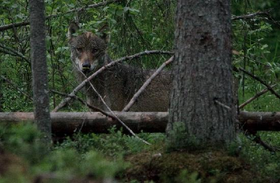 Estonie : Wolf in Alutaguse