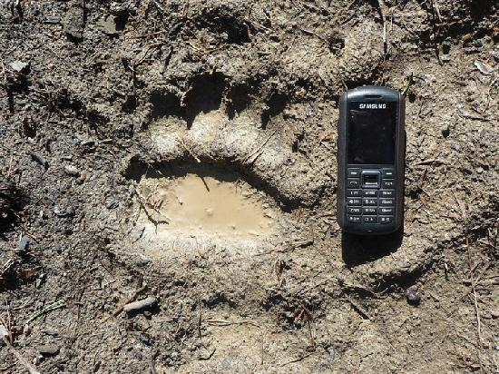 Estland: Brown bear track in Alutaguse