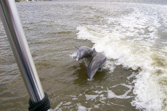 Southwest Florida EcoTours: Dolphins following boat