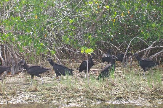 Southwest Florida EcoTours: Vultures in the everglades