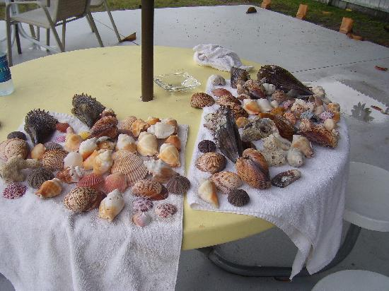 Bradenton Beach, FL: Shelling