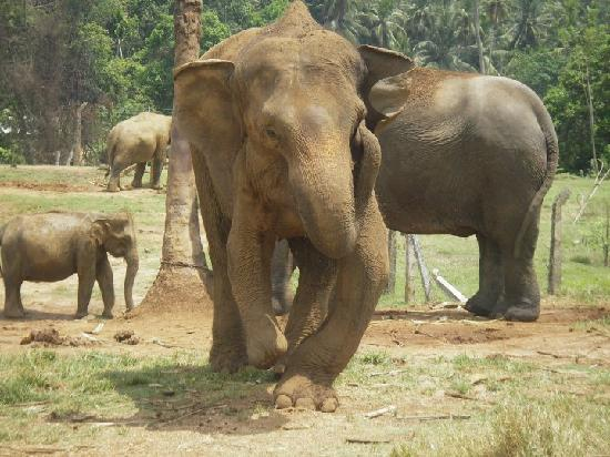 Pinnawala Elephant Orphanage: Disabled Elephant