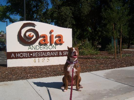 Anderson, Kalifornien: The dog posing at the entrance to Gaia