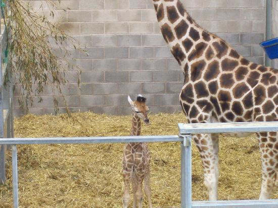 Blackpool Zoo : Baby Giraffe