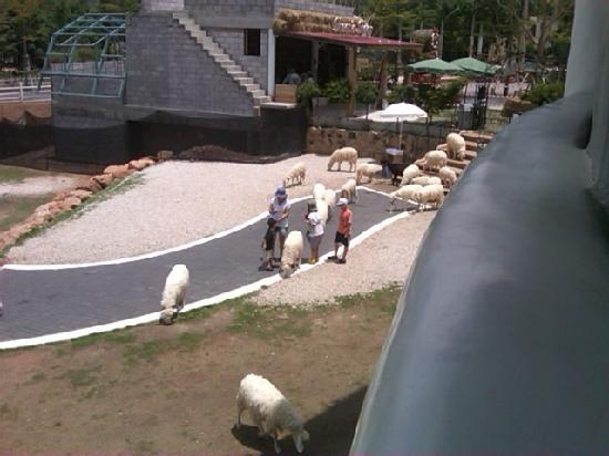 The Scenery Resort & Farm : sheeps (view from fly restrant)