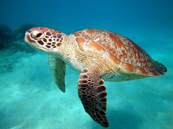 Blue Dive Port Douglas : Sea Turtle, We saw a few
