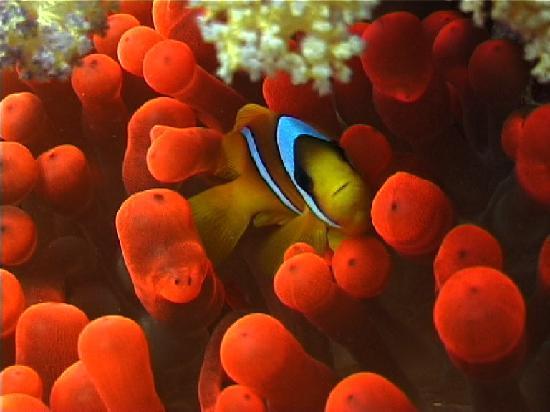 Blue Dive Port Douglas : Nemo fish!