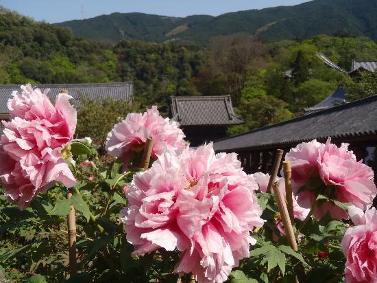 Uda, Japón: 長谷寺と牡丹