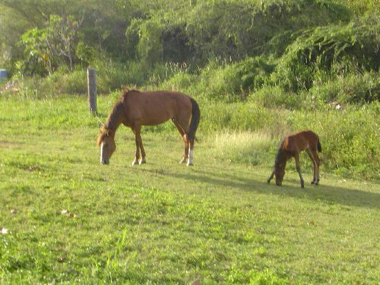 Villa Coral Guesthouse: Horses in the back of the property