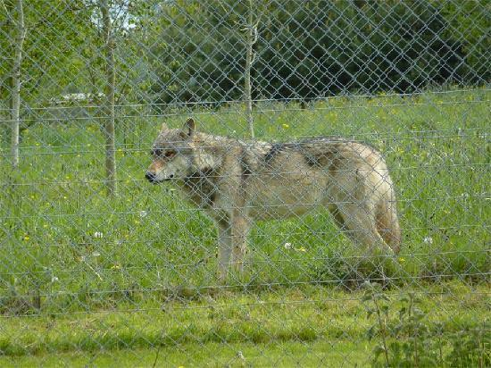 Beenham, UK: Another wolf at the Trust in it's enclosure