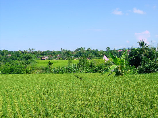 Ubud, Indonesia: The wonderful rice fields