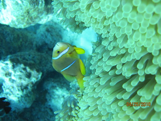 Vaitape, French Polynesia: Clown fish